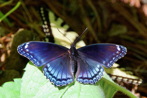 Wall Art - Photograph - Red-spotted Purple 4257 by Michael Peychich