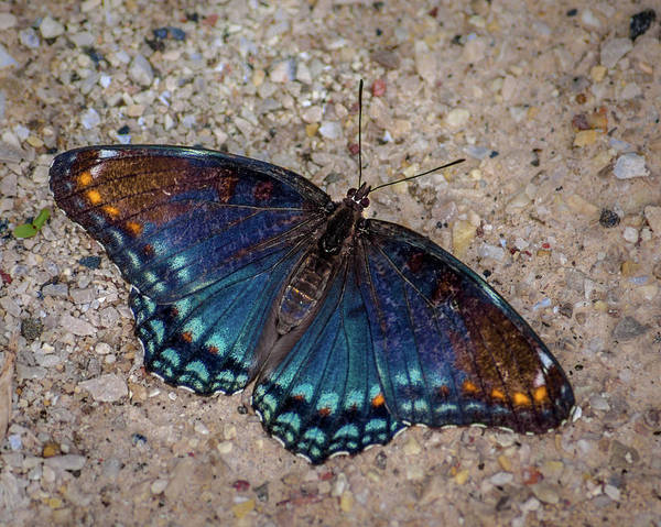 Wall Art - Photograph - Red-spotted Purple Admiral Butterfly by Bill Pevlor