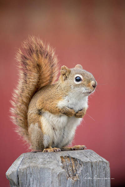 Photograph - Red Squirrel 7782 by Dan Beauvais