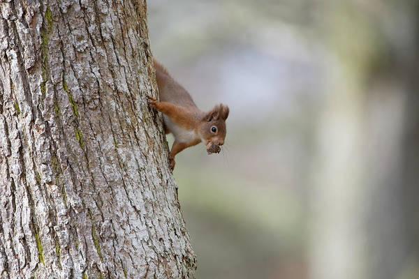 Red Squirrel Climbing Down A Tree Art Print