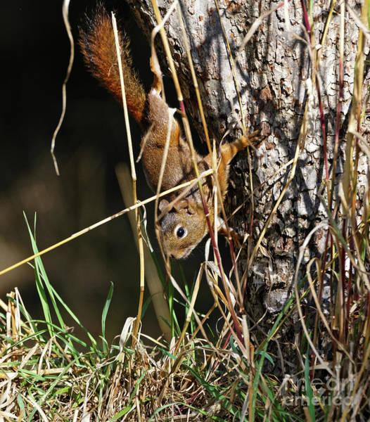 Photograph - Red Squirrel Descending by Sue Harper