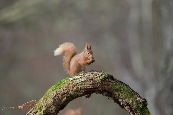 Red Squirrel Eating A Hazelnut Art Print