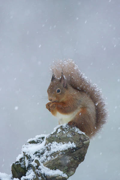Red Squirrel In A Blizzard Art Print