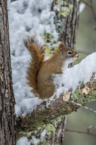 Wall Art - Photograph - Red Squirrel In The Snow by Paul Freidlund