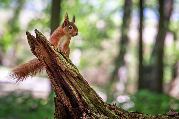 Photograph - Red Squirrel Lookout by Framing Places