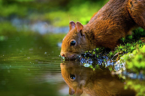 Photograph - Red Squirrel by Mario Visser