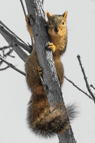 Photograph - Red Squirrel by Mark Mille