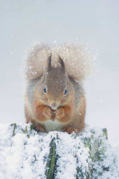 Red Squirrel Nibbles A Nut In The Snow Art Print