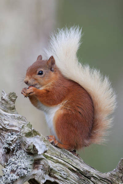 Photograph - Red Squirrel On Gnarled Log by Peter Walkden
