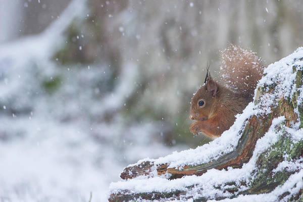 Red Squirrel On Snowy Stump Art Print
