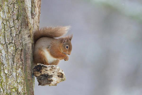 Red Squirrel On Tree Fungus Art Print