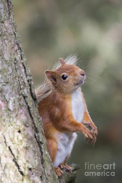 Photograph - Red Squirrel - Scottish Highlands #12 by Karen Van Der Zijden