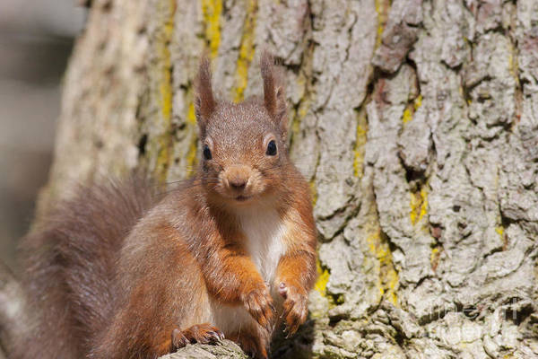 Photograph - Red Squirrel - Scottish Highlands  #13 by Karen Van Der Zijden