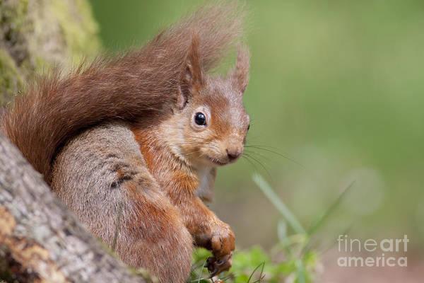 Photograph - Red Squirrel - Scottish Highlands  #17 by Karen Van Der Zijden