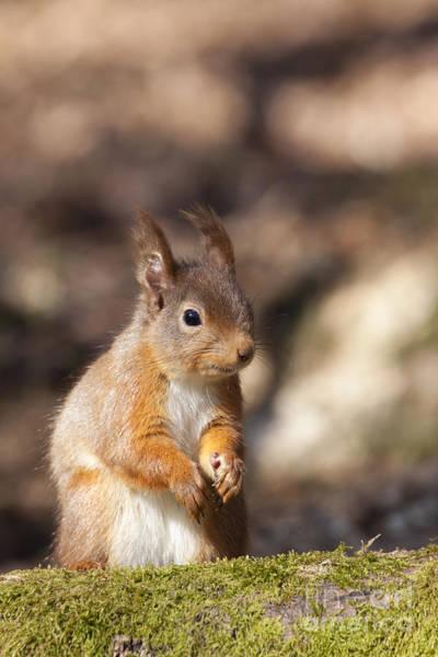Photograph - Red Squirrel - Scottish Highlands  #20 by Karen Van Der Zijden