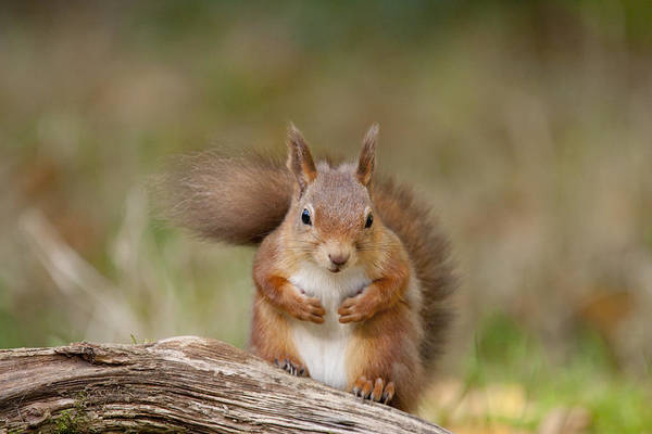Photograph - Red Squirrel - Scottish Highlands   #22 by Karen Van Der Zijden