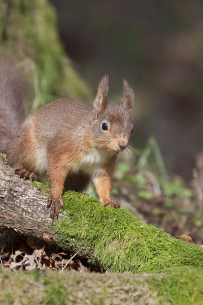 Photograph - Red Squirrel - Scottish Highlands   #23 by Karen Van Der Zijden