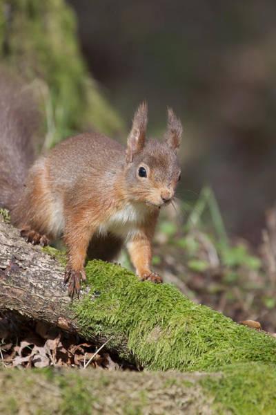Photograph - Red Squirrel - Scottish Highlands   #23 by Karen Van Der Zijden