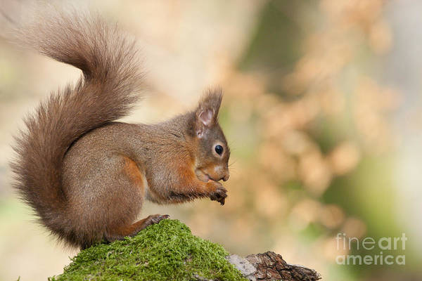A Moment Of Meditation - Red Squirrel #27 Art Print