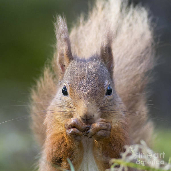 Photograph - Red Squirrel - Scottish Highlands #28 by Karen Van Der Zijden