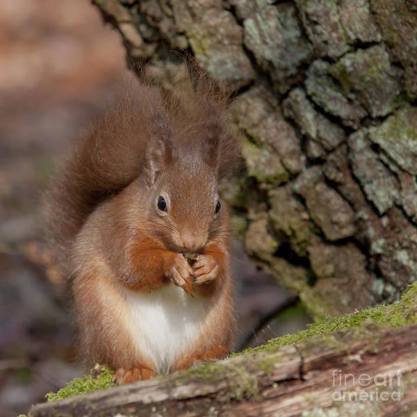 Photograph - Red Squirrel - Scottish Highlands #5 by Karen Van Der Zijden