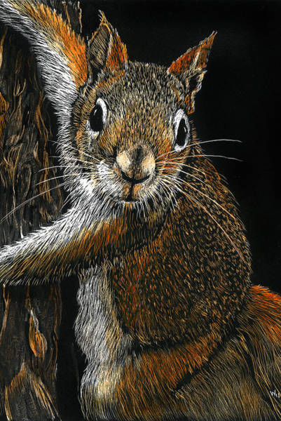 Drawing - Red Squirrel by William Underwood