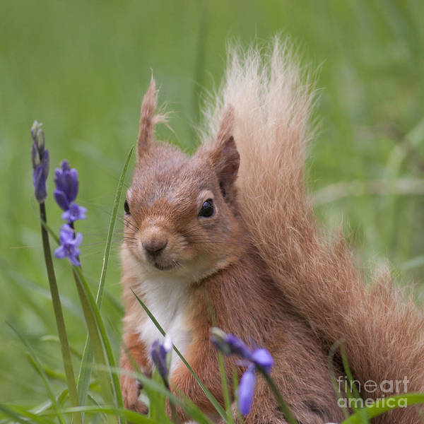 Photograph - Red Squirrel With Blue Bells  #15 by Karen Van Der Zijden