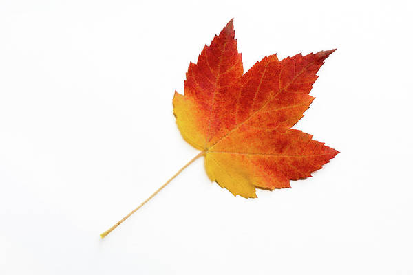 Acer Saccharum Photograph - Red Sugar Maple Leaf On White Background by Michael Russell