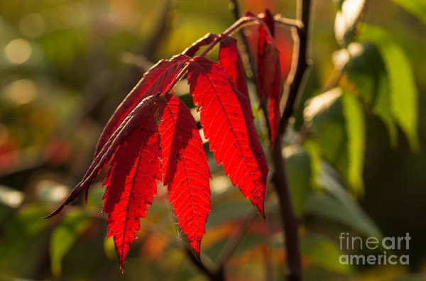 Photograph - Red Sumac Leaves by Les Palenik