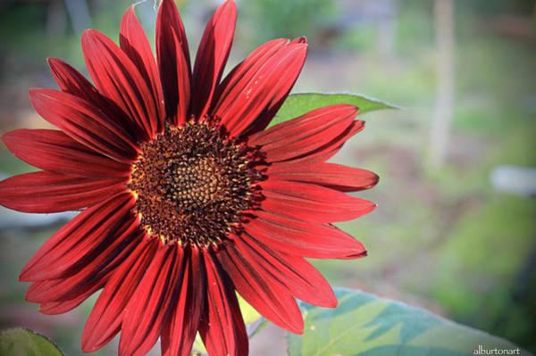 Red Sunflower Art Print