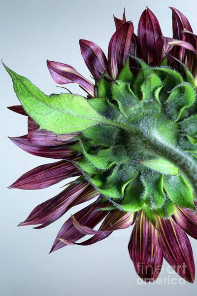 Wall Art - Photograph - Red Sunflower by Masako Metz