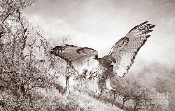 Wall Art - Photograph - Red-tail Autumn Black And White by Laura D Young