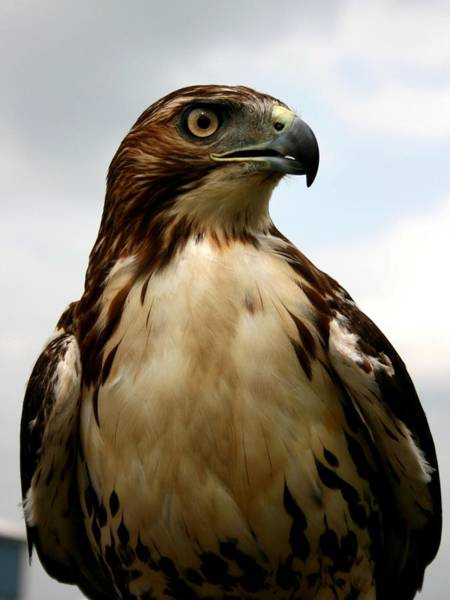 Photograph - Red Tail Hawk 2 by David Dunham