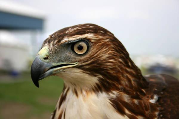 Photograph - Red Tail Hawk 3 by David Dunham