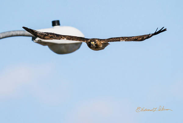 Photograph - Red-tail Hawk Inbound by Edward Peterson