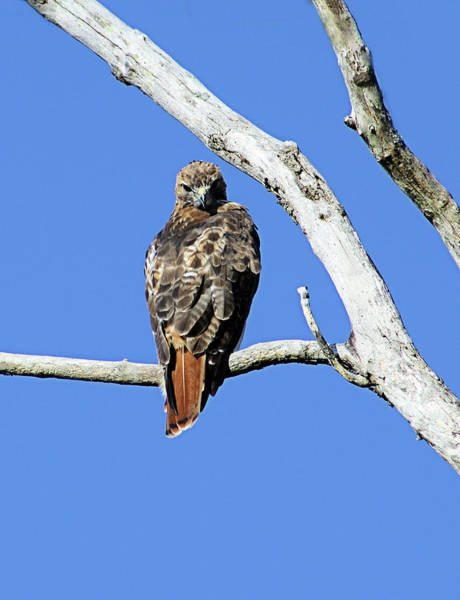 Photograph - Red Tail Hawk by Karl Ford
