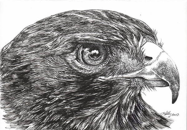 Hawk Drawing - Red Tail Hawk by Kathleen Kelly Thompson