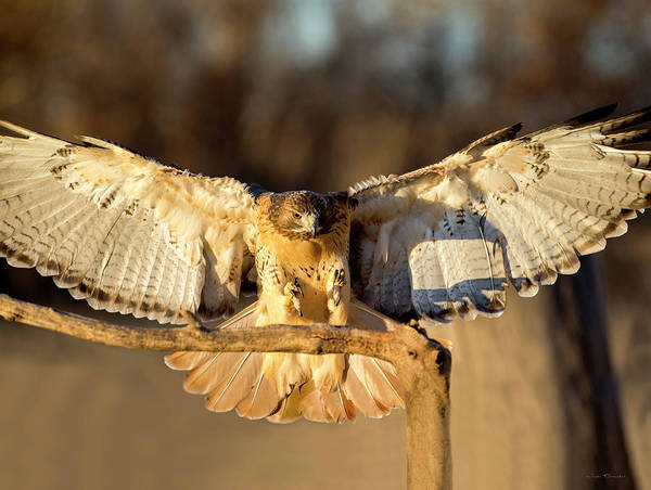 Photograph - Red-tail Hawk Landing On A Branch by Judi Dressler