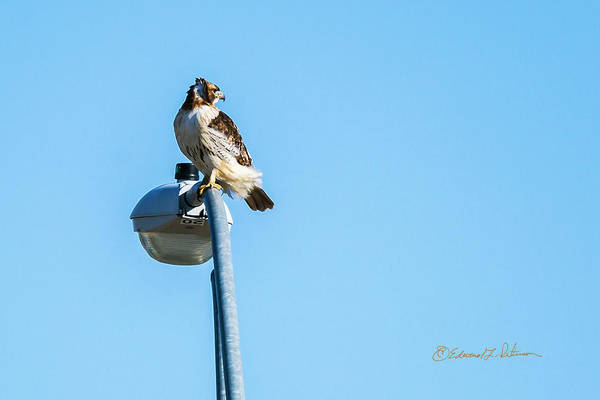 Photograph - Red-tail Hawk Lookout by Edward Peterson