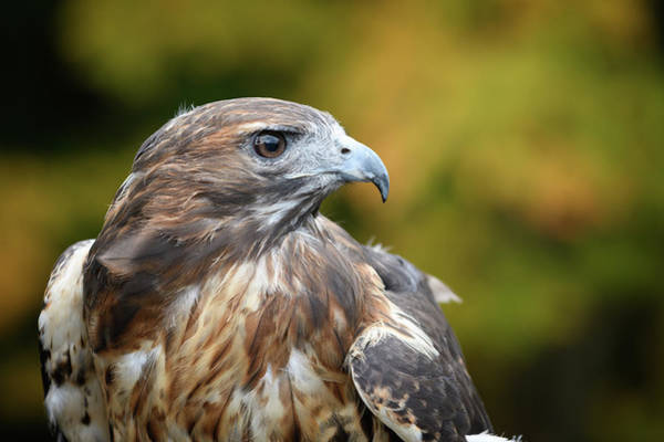Photograph - Red Tail Hawk by Michael Hubley