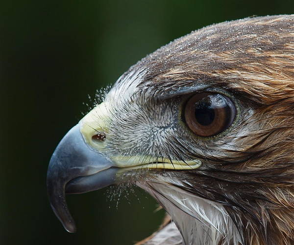 Red Tailed Hawk Photograph - Red Tail Hawk Misted by Peter Gray