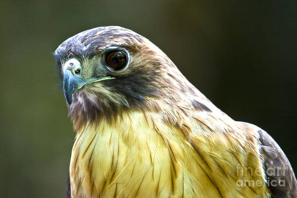 Photograph - Red Tail Hawk by Photography by Laura Lee