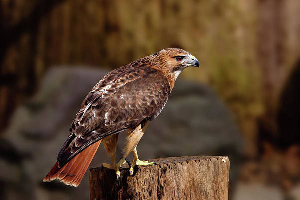 Photograph - Red Tail Hawk by Ronnie and Frances Howard