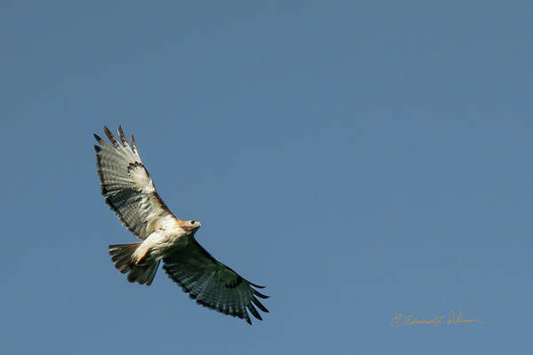 Photograph - Red-tail Hawk Soaring by Edward Peterson