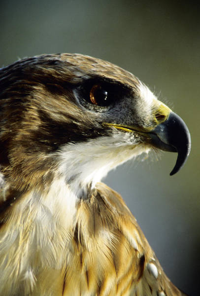 Photograph - Red Tail Hawk by Steve Somerville