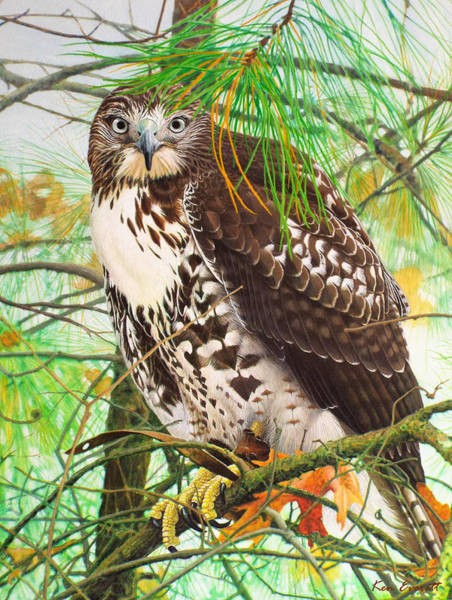 Hawk Painting - Red Tail Hawk, Thistle by Ken Everett