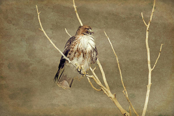 Wall Art - Photograph - Red Tail Hawk Watching by Jennie Marie Schell