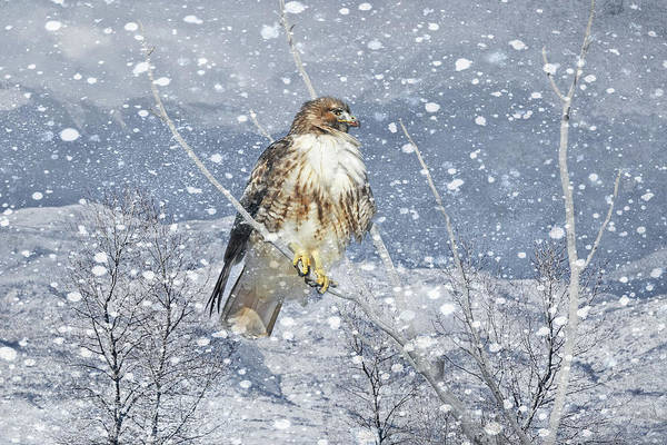 Wall Art - Photograph - Red Tail Hawk Winter  by Jennie Marie Schell