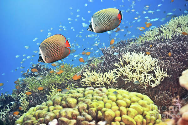 Wall Art - Photograph - Red-tailed Butterflyfishes by MotHaiBaPhoto Prints