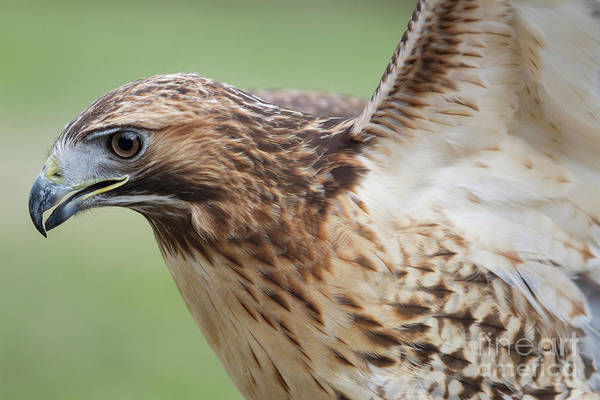 Photograph - Red-tailed Hawk 2 by Chris Scroggins